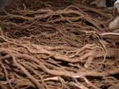 kava roots
