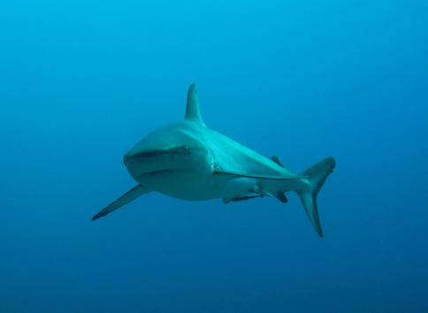 Shark-numbers-increasing-in-protected-Fiji-reserve-scientists-say